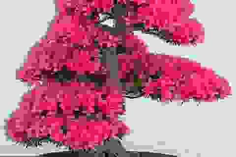 Những cây bonsai đẹp nhất mọi thời đại