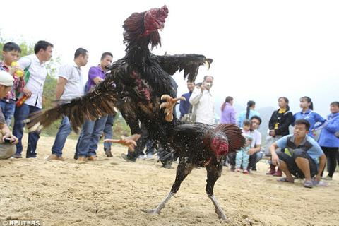 Thành phố ở Trung Quốc gây tranh cãi với kế hoạch hút khách bằng chọi gà