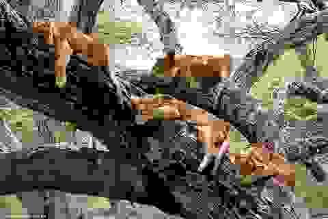 Thú vị cảnh đàn sư tử rủ nhau... vắt vẻo trên cây ngủ trưa