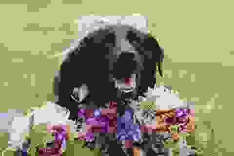 Câu chuyện xúc động về chú chó cố gắng sống tới ngày cô chủ kết hôn