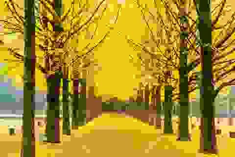 """Mùa thu """"phủ vàng"""" trên những hàng ngân hạnh đẹp nhất thế giới"""