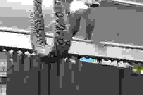 Trăn khổng lồ lao xuống từ trần nhà, khách hàng náo loạn