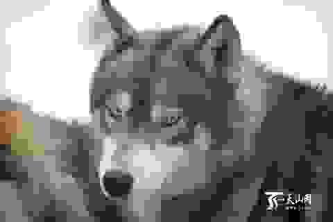 Thương gia tiêu tốn hơn 3 tỷ mỗi năm cho thú vui... nuôi chó sói