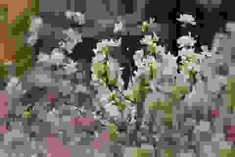 """Hoa anh đào Nhật Bản """"đổ bộ"""" về thủ đô"""