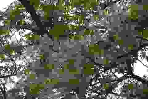Hoa Xoan - món quà bình dị mùa Xuân