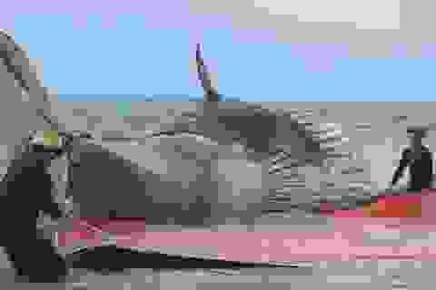 Xe chở cá voi không thể nhúc nhích vì... quá nặng