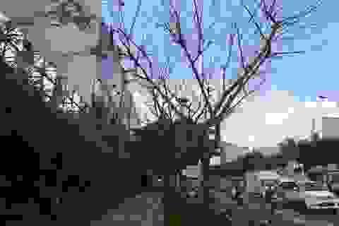 TPHCM: Xử nghiêm vụ phá hoại cây xanh trước sân bay Tân Sơn Nhất