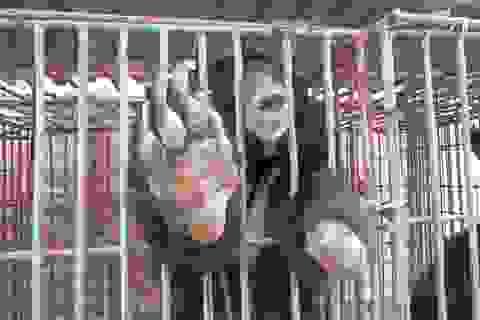 12 cá thể gấu nuôi nhốt chết trong 2 tháng