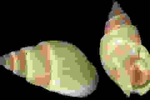 Những cách giúp phòng ngộ độc từ ốc biển