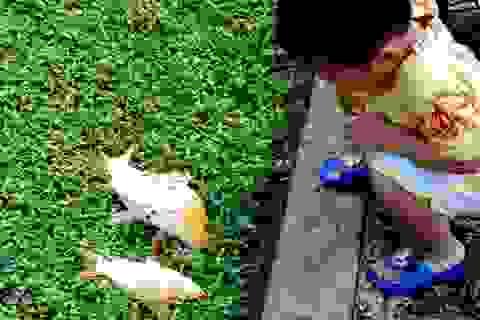 HIểm họa khi ăn cá kênh Nhiêu Lộc: ung thư, suy thận...