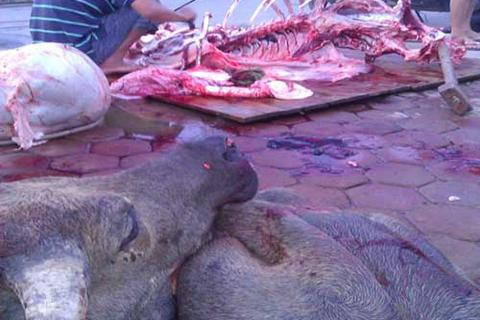 Trâu thối, lợn sề về Việt Nam thành bò ngoại giá chát