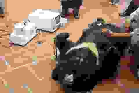 Dùng mật gấu nguy cơ gây liệt dương