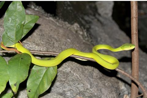 Lý giải tình trạng rắn lục xuất hiện nhiều tại Việt Nam