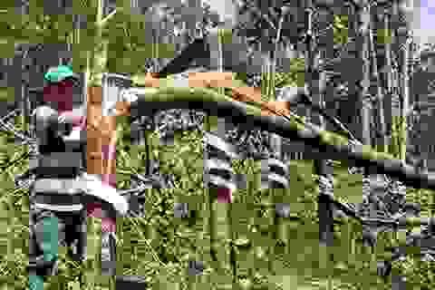 Giải pháp nào cho cây cao su ở Bắc Trung Bộ?