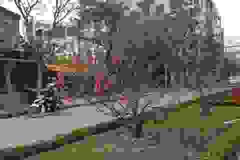 Đào Nhật Tân nở rực rỡ trên đường phố Hà Nội