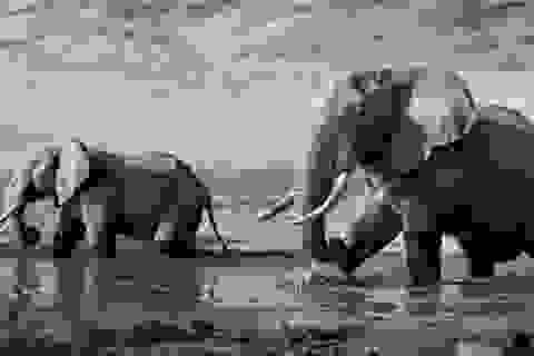 Thế giới động vật châu Phi qua những khung hình đen trắng