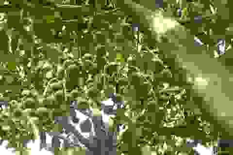 Việt Nam có tiềm năng đứng đầu thế giới về cây mắc ca