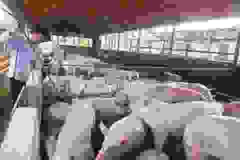 Vẫn lạm dụng kháng sinh và chất cấm trong chăn nuôi