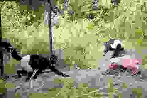 Hai con voọc mông trắng cực hiếm được thả về tự nhiên