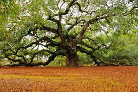 """Sức sống mãnh liệt của cây sồi """"thiên thần"""" 1,500 tuổi"""