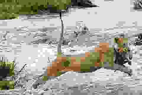 Xúc động trước cảnh sư tử mẹ cắp con vượt sông