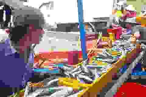 Ngư dân trúng đậm cả chục tấn cá nục mỗi đêm