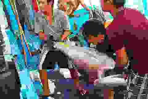 """Cá ngừ đại dương """"lênh đênh"""" vì mất mùa"""
