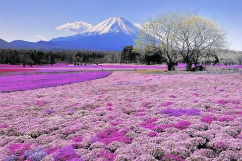 Ngợp mắt với cánh đồng hoa Chi Anh tuyệt đẹp