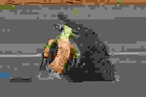 """Kinh hãi """"sát thủ đầm lầy"""" hạ gục rùa biển trong chớp mắt"""