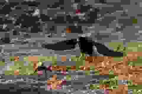 """Xem chim ưng săn """"rồng"""" trên đảo hoang"""