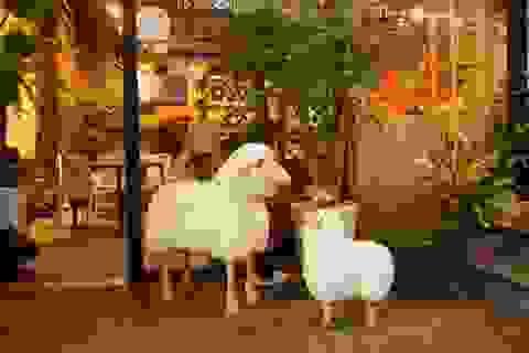 Quán cafe hút khách khủng nhờ sự xuất hiện của... cừu