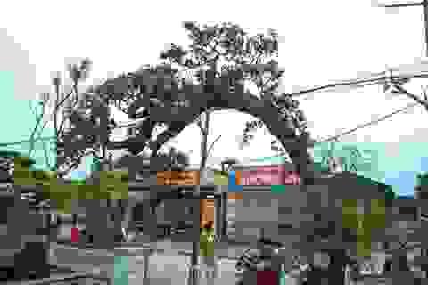 Mục sở thị cây dâu cảnh độc nhất vô nhị ở Việt Nam