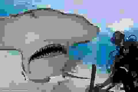 Thợ lặn liều mạng chơi đùa cùng cá mập đầu búa khổng lồ