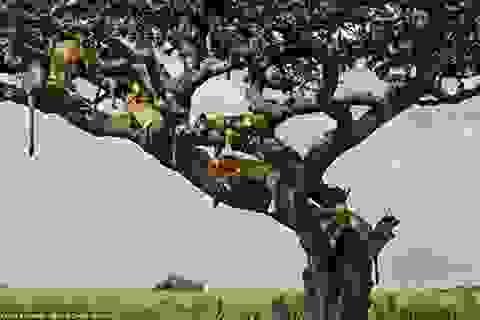 """Du khách thích thú khi chứng kiến hình ảnh """"cây sư tử"""""""