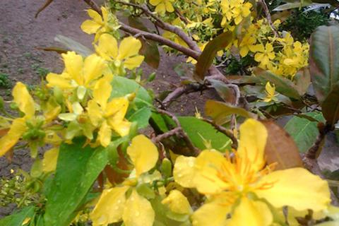 Mai nở vàng rực 2 tháng trước Tết