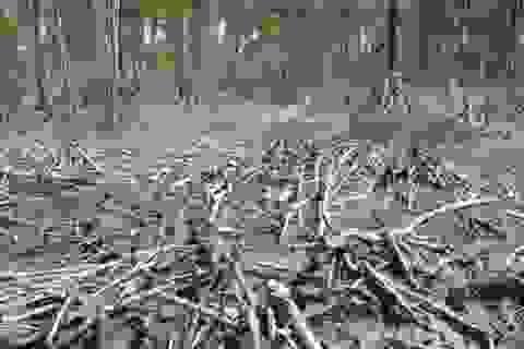 Đề nghị kỷ luật GĐ Vườn Quốc gia Mũi Cà Mau vì để mất rừng