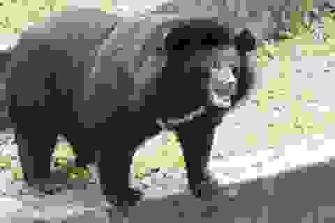 Yêu cầu đóng cửa các trang trại chích hút mật gấu trái phép