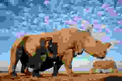 Kenya điều nhân viên vũ trang bảo vệ cá thể tê giác hiếm cuối cùng