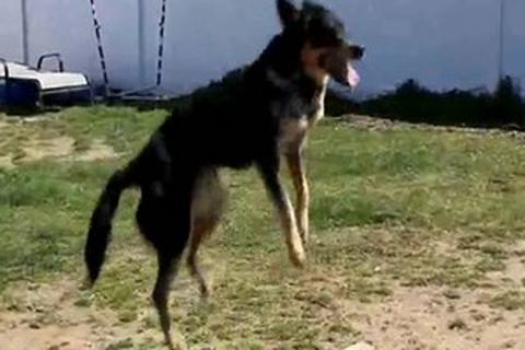 Chú chó có biệt tài… nhảy dây