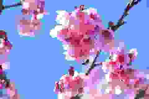 Hoa anh đào Nhật Bản rực rỡ khoe sắc ở Sa Pa