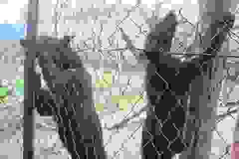 Hai chú gấu ngựa vượt quãng đường 240km đi chữa bệnh