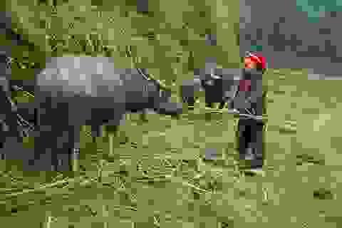 Nông dân Sa Pa sơ tán đàn trâu xuống vùng thấp né rét hại