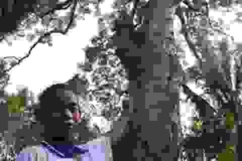 Cận cảnh cây dầu rái 700 năm tuổi