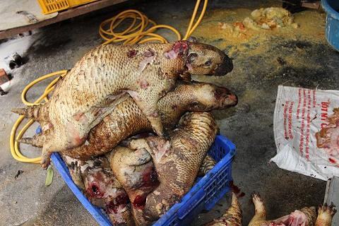 """Đột kích """"lò mổ"""" động vật hoang dã ở Hà Nội"""
