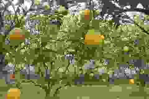 """Hoa quả Tết """"hái tận vườn"""" hét giá khủng"""