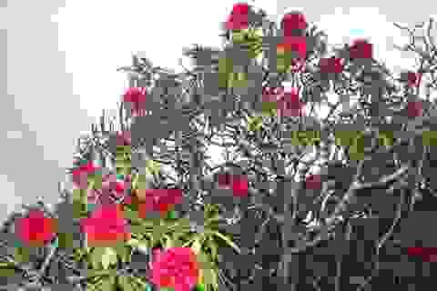 Ngắm các loài hoa đỗ quyên khoe sắc trên núi Hoàng Liên