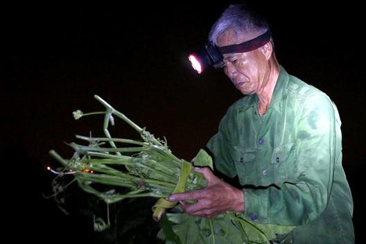 Hà Nội: Dậy từ 1h cắt rau bí, người trồng rau thu hàng chục triệu đồng/vụ