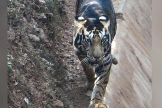 Hổ đen cực hiếm được phát hiện ở Ấn Độ