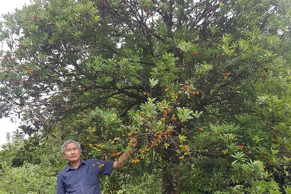 Phát hiện quần thể gần 40 cây thanh mai cổ thụ trong rừng Si Ma Cai