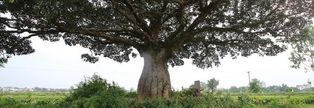 """Hà Nội: Cây trôi """"cô đơn"""" nghìn năm tuổi, báu vật của làng Bình Đà"""